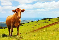 Golden Cow, Green Fields and a Blue Sea